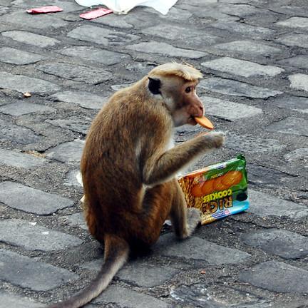 Meine Kekse schmeckten schmeckten dem Affen offenbar gut. Foto: Christian Maskos